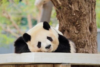 眠るパンダ