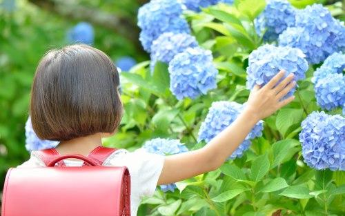 紫陽花と小学生
